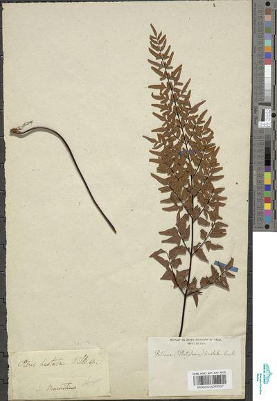 Cheilanthes viridis Sw.