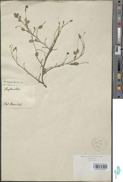 Phyllanthus sp.