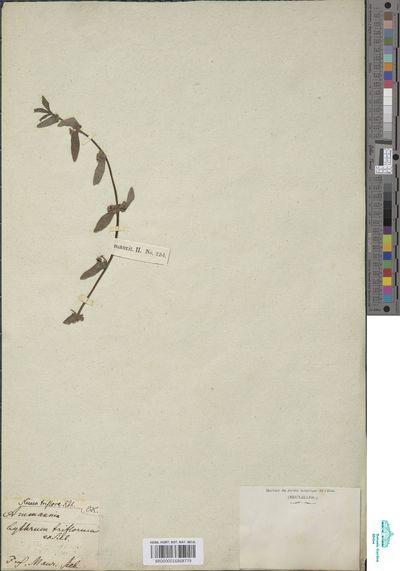 Nesaea triflora (L.f.) Kunth