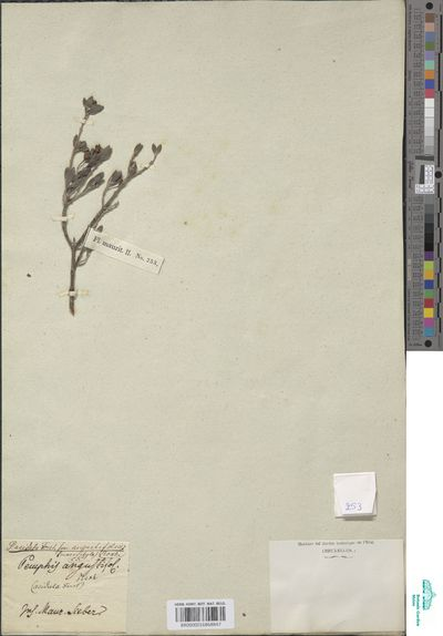 Pemphis acidula J.R.Forst. & G.Forst.