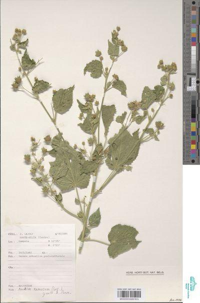 Abutilon ramosum (Cav.) Guill. & Perr.