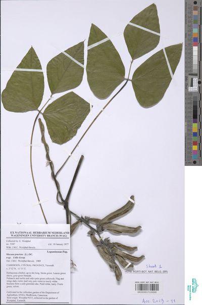 Mucuna pruriens (L.) DC. var. utilis (Wall. ex Wight) Baker ex Burck