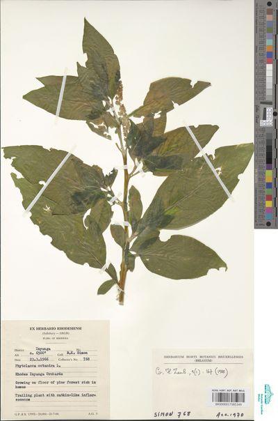 Phytolacca octandra L.