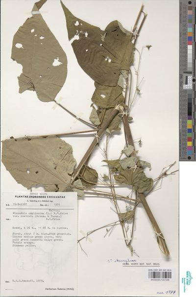 Wissadula rostrata (Schumach. & Thonn.) Hook.f.