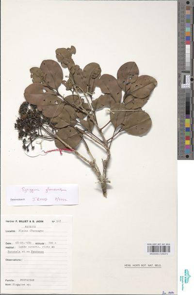 Syzygium glomeratum DC.