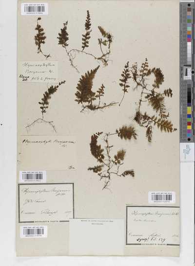 Hymenophyllum boryanum Willd.