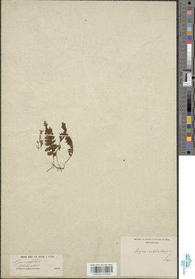 Hymenophyllum ciliatum (Sw.) Sw.