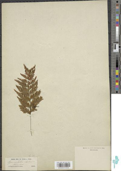 Hymenophyllum hygrometricum (Poir.) Desv.