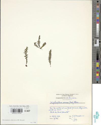 Lellingeria oosora