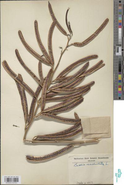 Senna occidentalis (L.) Link