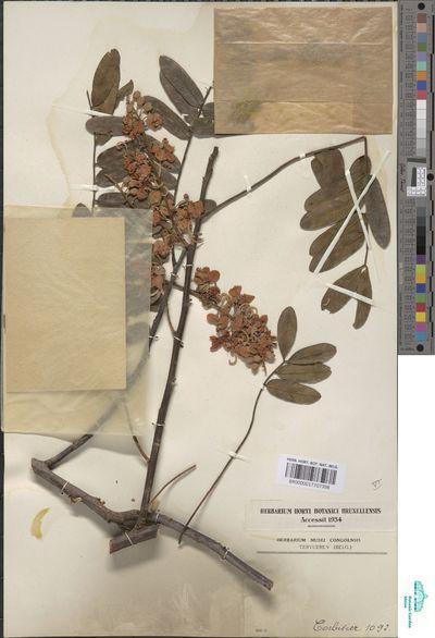 Cassia grandis L.f.