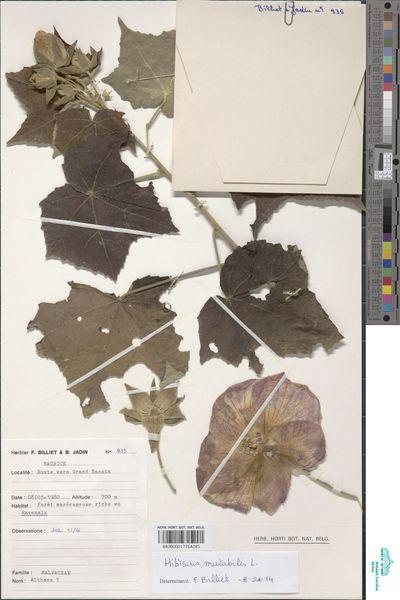 Hibiscus mutabilis L.