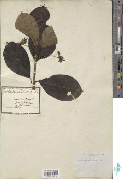 Antirhea verticillata (Lam.) DC.