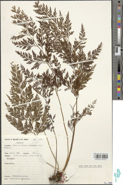 Odontosoria chinensis (L.) J.Sm.