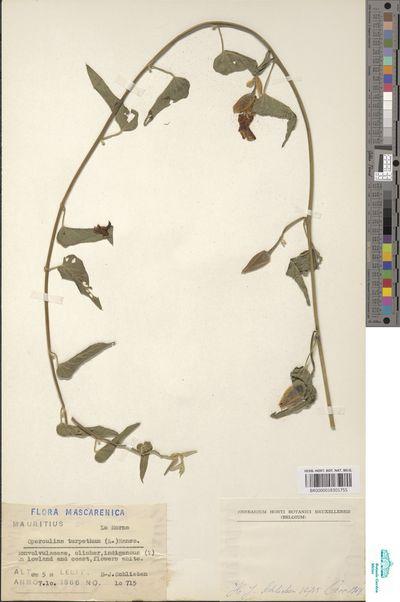 Operculina turpethum (L.) Silva Manso