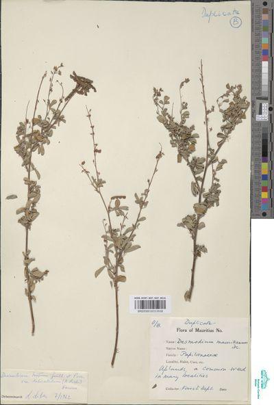 Desmodium hirtum Guill. & Perr. var. delicatulum (A.Rich.) B.G.Schub.