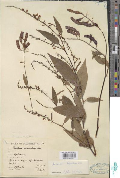 Desmodium umbellatum (L.) DC.
