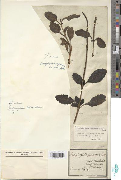 Stachytarpheta jamaicensis (L.) Vahl
