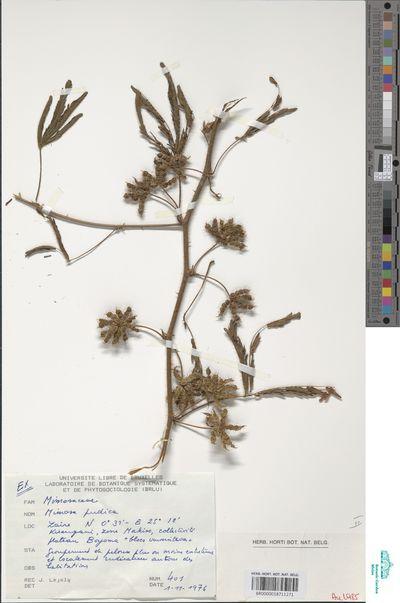 Mimosa pudica L.