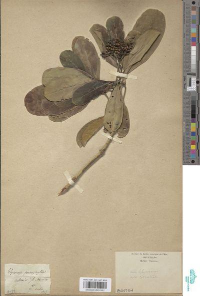 Rutaceae indet.