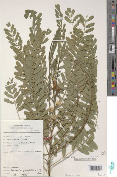 Sesbania grandiflora (L.) Pers.