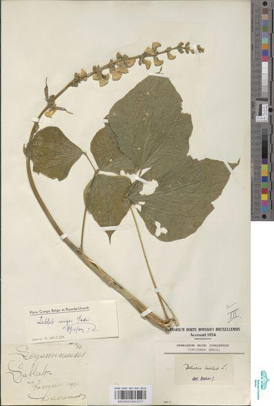 Lablab purpureus (L.) Sweet