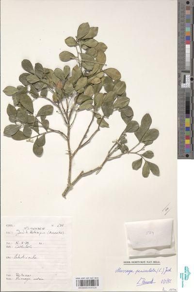 Murraya paniculata (L.) Jack