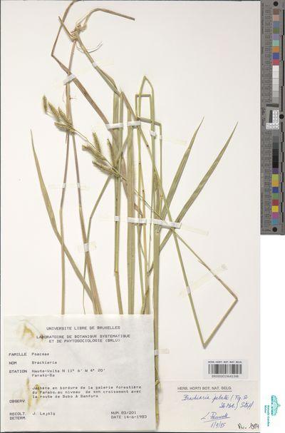 Urochloa jubata (Fig. & De Not.) Sosef