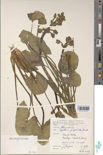 Sagittaria guayanensis Humb., Bonpl. & Kunth subsp. lappula (D.Don) Bogin