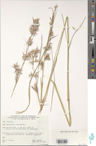 Cymbopogon schoenanthus (L.) Spreng. subsp. proximus (Hochst. ex A.Rich.) Maire & Weiller