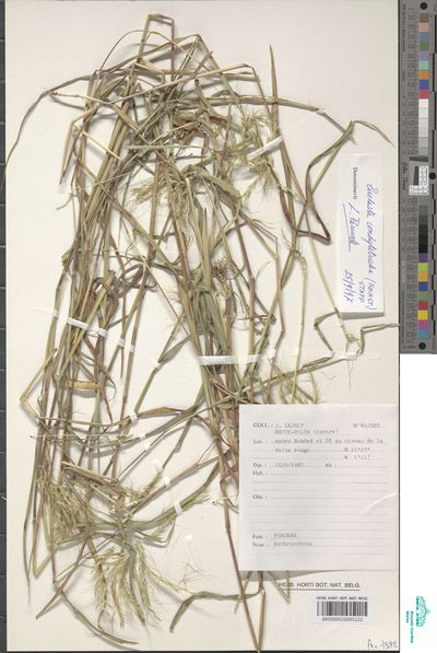 Euclasta condylotricha (Hochst. ex Steud.) Stapf