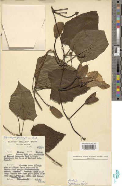 Thunbergia grandiflora (Roxb. ex Rottler) Roxb.
