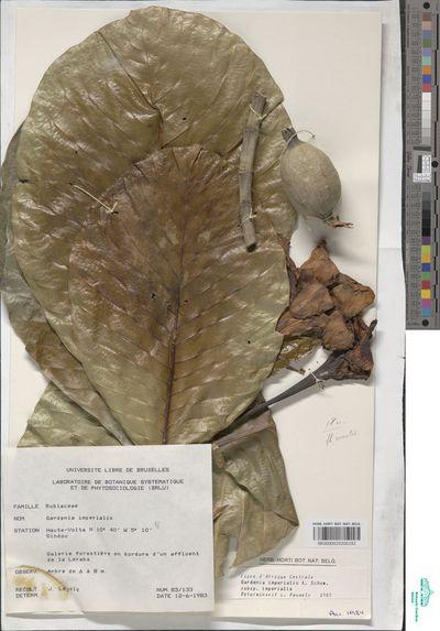 Gardenia imperialis K.Schum. subsp. imperialis