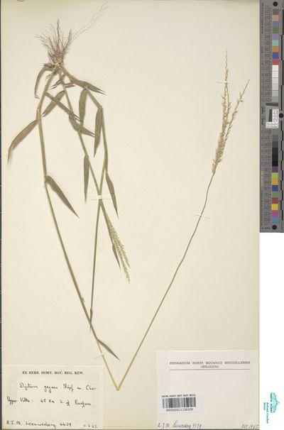 Digitaria gayana (Kunth) Stapf ex A.Chev.