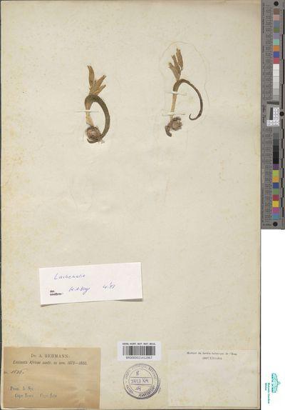 Lachenalia sp.