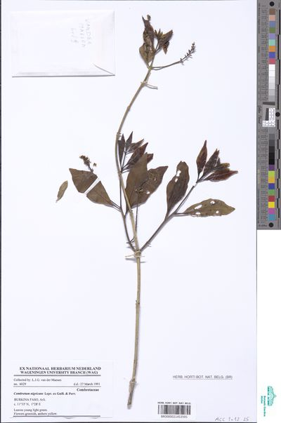 Combretum nigricans Lepr. ex Guill. & Perr.