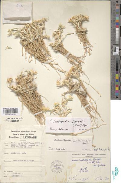 Centropodia forsskalii (Vahl) Cope subsp. forsskalii