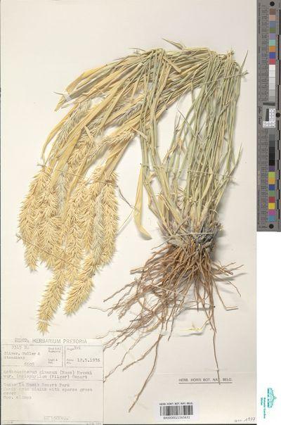 Centropodia glauca (Nees) Cope