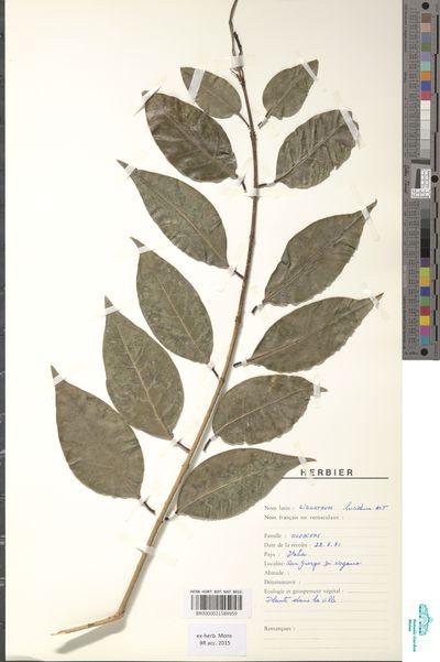 Ligustrum lucidum Aiton Fil.in Aiton