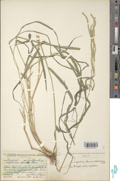 Leptochloa eleusine (Nees) Cope & N.Snow