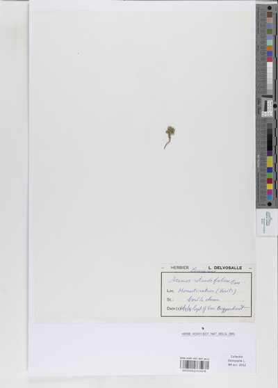 Acinos rotundifolius Friv. ex Walp.