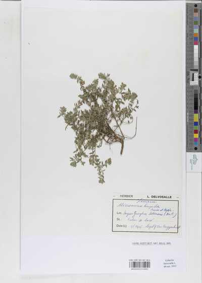 Micromeria hispida Boiss. & Heldr.