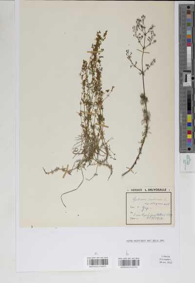 Galium rubrum Pollich ssp. obliquum Vill