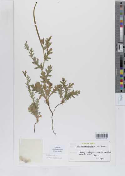 Glaucium corniculatum (L.) Rudolph