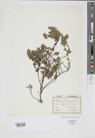 Thymus glabrescens Wild var. benacensis H.Br