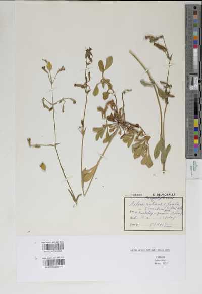 Silene nutans L. subsp. livida (Willd.) Jeanm. & Bocquet