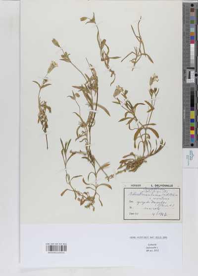 Silene vulgaris (Moench) Garcke subsp. maritima (With.) A. & D. Löve v. montana