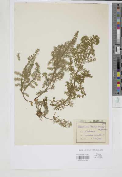 Elaeoselinum asclepium Bertol. var. typicum