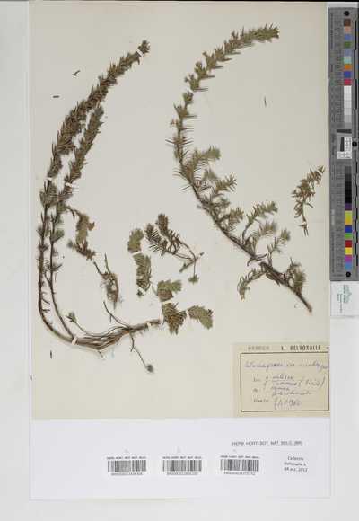 Satureja graeca L. var. sicula (Gus)