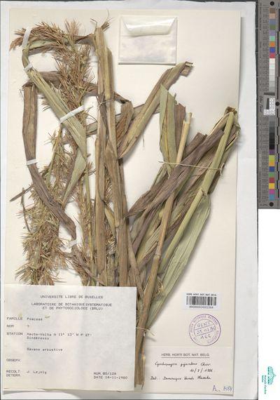 Cymbopogon caesius (Nees ex Hook. & Arn.) Stapf subsp. giganteus (Chiov.) Sales
